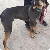 Adopt A Pet :: Koda - Cedaredge, CO