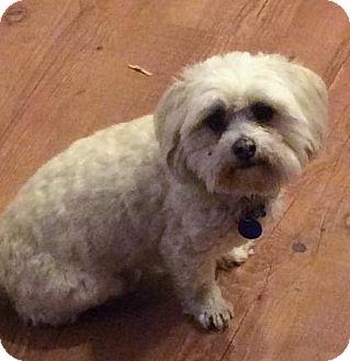 Shih Tzu/Lhasa Apso Mix Dog for adoption in Logan, Utah - Toby