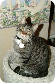 Domestic Shorthair Cat for adoption in Cleveland, Ohio - Socks