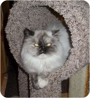 Persian Cat for adoption in Witter, Arkansas - Tory
