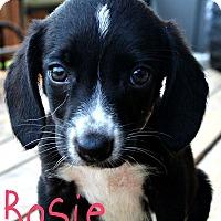 Adopt A Pet :: Rosie - Brazil, IN