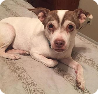 Jack Russell Terrier Mix Dog for adoption in Toledo, Ohio - EllIe -- COURTESY POST