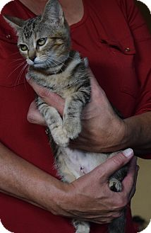 Domestic Shorthair Kitten for adoption in Surrey, British Columbia - Lady