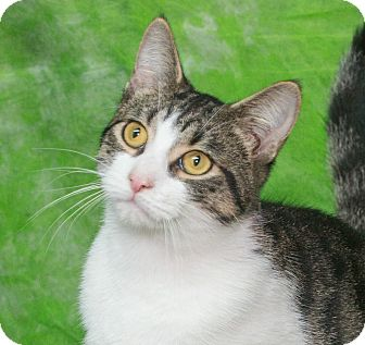 Domestic Shorthair Cat for adoption in Elmwood Park, New Jersey - Angelina
