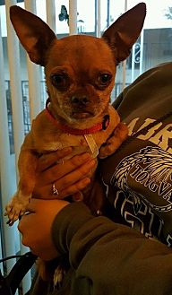 Pug/Chihuahua Mix Dog for adoption in Alhambra, California - PeeWee