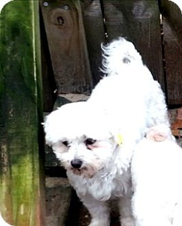Maltese Dog for adoption in Holland, Ohio - Roni