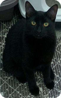 Domestic Shorthair Kitten for adoption in Frankfort, Illinois - Olivia & Elliott