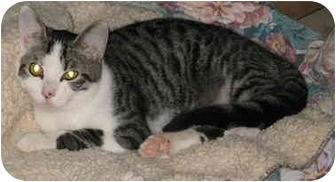 Domestic Shorthair Cat for adoption in Cincinnati, Ohio - Eddie