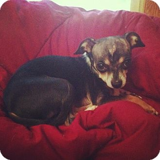 Chihuahua Dog for adoption in Chicago, Illinois - MOOSE