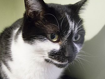 American Shorthair Cat for adoption in Chicago, Illinois - Princess