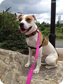 Pit Bull Terrier Mix Dog for adoption in Charlotte, North Carolina - Max