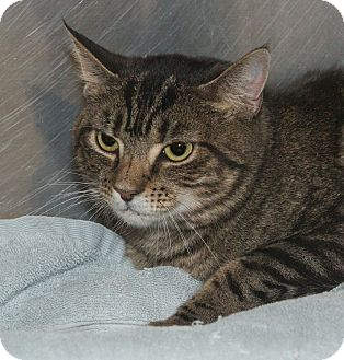 Domestic Shorthair Cat for adoption in Elmwood Park, New Jersey - Lena