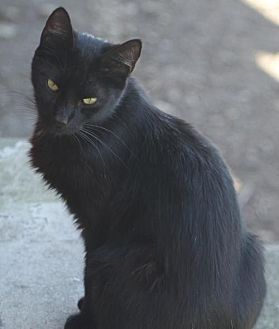 Domestic Shorthair Cat for adoption in Morehead, Kentucky - Boy ADULT MALE
