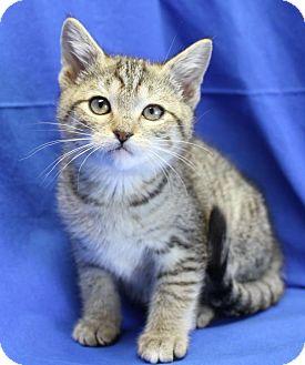 Domestic Shorthair Kitten for adoption in Winston-Salem, North Carolina - Larry