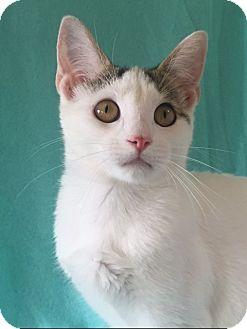 Domestic Shorthair Kitten for adoption in Bloomsburg, Pennsylvania - Ava