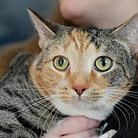 Domestic Shorthair Cat for adoption in Raleigh, North Carolina - Callie Aloicious