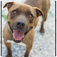 Adopt A Pet :: Copper (Reduced adoption fee!! - Brattleboro, VT