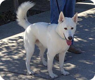 Siberian Husky/Shepherd (Unknown Type) Mix Dog for adoption in Lathrop, California - Ghost