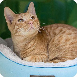 Domestic Shorthair Cat for adoption in Houston, Texas - Baez