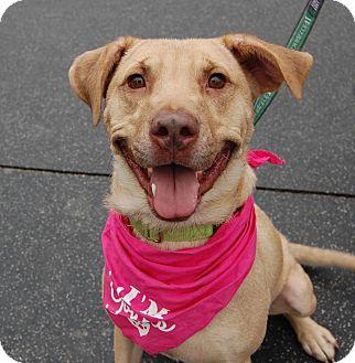 Labrador Retriever Mix Dog for adoption in Wilmington, Delaware - Latte