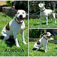 Pit Bull Terrier/Labrador Retriever Mix Dog for adoption in Sacramento, California - Aurora