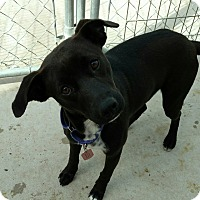 Labrador Retriever/Terrier (Unknown Type, Small) Mix Dog for adoption in Hanna City, Illinois - Betty