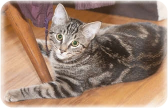 Domestic Shorthair Cat for adoption in Howell, Michigan - Ronnie