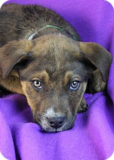Shepherd (Unknown Type)/Australian Cattle Dog Mix Puppy for adoption in Westminster, Colorado - Niles