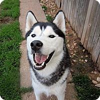 Adopt A Pet :: Travis - Horsham, PA
