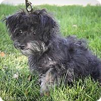 Adopt A Pet :: Zelda - Broomfield, CO