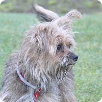 Adopt A Pet :: Lucy - Tumwater, WA