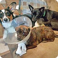 Adopt A Pet :: Donut - Arlington, TX