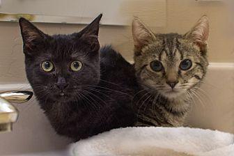 Domestic Shorthair Kitten for adoption in Staten Island, New York - Kiko and Coco