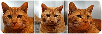 Domestic Shorthair Cat for adoption in Forked River, New Jersey - Joey