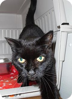 Domestic Shorthair Cat for adoption in Waupaca, Wisconsin - Lavender