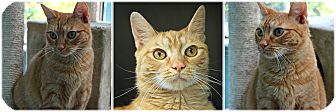 Domestic Shorthair Cat for adoption in Forked River, New Jersey - Manderine