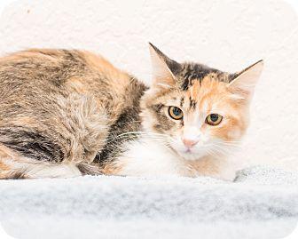 Calico Kitten for adoption in Fountain Hills, Arizona - Meredith