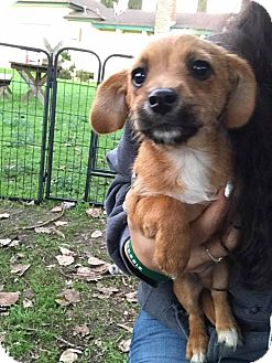 Dachshund/Terrier (Unknown Type, Small) Mix Puppy for adoption in Lodi, California - Merlin