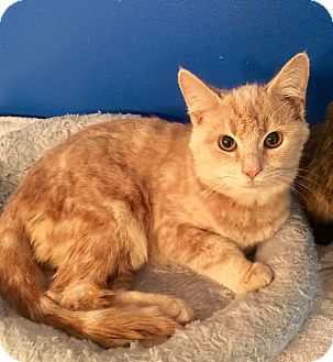 Domestic Shorthair Kitten for adoption in Mount Pleasant, South Carolina - Bradley