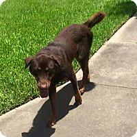 Adopt A Pet :: Sam - Bedminster, NJ