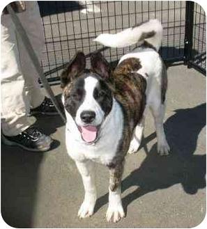 Akita Dog for adoption in Hayward, California - Nikita