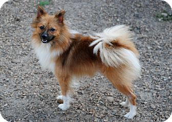 Pomeranian Dog for adoption in Virginia Beach, Virginia - King