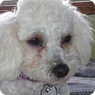 Bichon Frise Mix Dog for adoption in La Costa, California - Ella