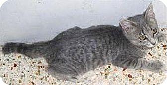 Domestic Mediumhair Cat for adoption in Miami, Florida - Peta