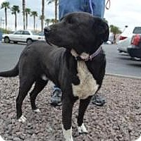 Border Collie/Shar Pei Mix Dog for adoption in Las Vegas, Nevada - Kimie's Bailey