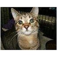 Domestic Shorthair Cat for adoption in Winston-Salem, North Carolina - Dora