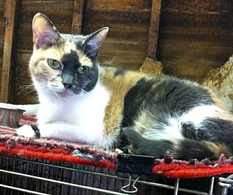 Domestic Shorthair Cat for adoption in Pasadena, California - MiMi
