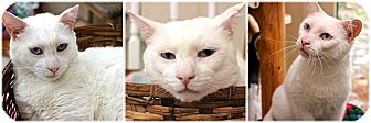 Domestic Shorthair Cat for adoption in Forked River, New Jersey - Fluffy