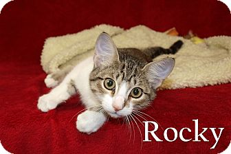 Domestic Shorthair Kitten for adoption in Jackson, Mississippi - Rocky