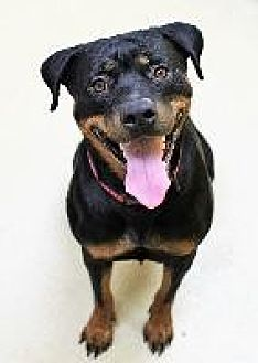 Rottweiler Dog for adoption in Little Rock, Arkansas - HOLLY